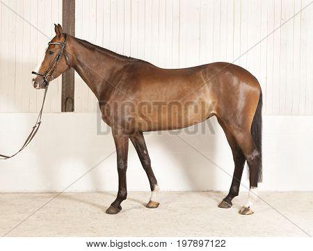 Horse Physique