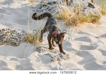 Little Black Kitten Walking by the Desert