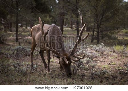 Mule Deer eating grass in the Grand Canyon National Park Arizona USA