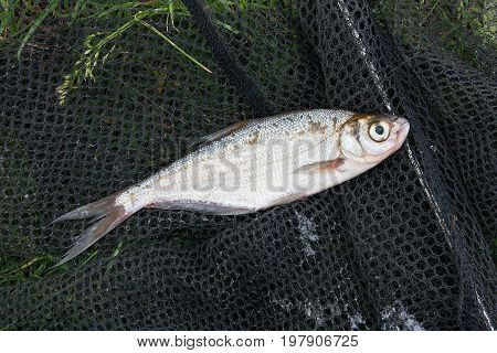 Single Freshwater Fish Zope Or The Blue Bream On Black Fishing Net..