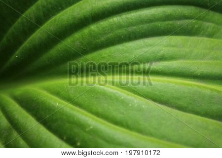 Green leaf texture for abstract background close up. Hosta leaf with pattern.