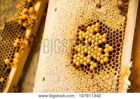 Young bees, male drones on a honeycomb frame in waxen honeycombs