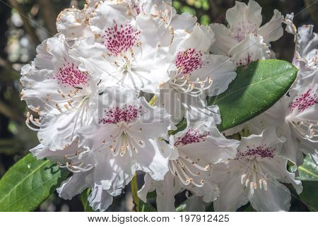 Natural view of colorful white azalea flowering in the garden under natural sunlight at sunny summer or spring day. Close up white azalea flowers background in morning nature