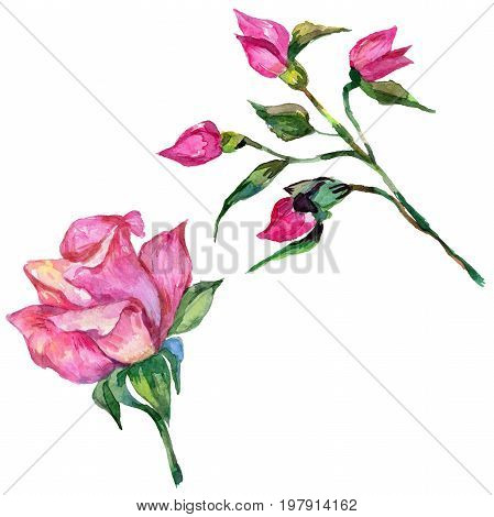 Wildflower rosa flower in a watercolor style isolated. Full name of the plant: rosa. Aquarelle wild flower for background, texture, wrapper pattern, frame or border.