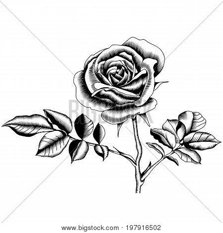 Rose flower, blossom rose flower, drawn rose flower, monochrome rose flower, decoration rose flower. Vector.