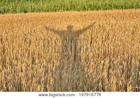 Silhouette enjoying the crop. Shadow of a man with his hands raised on a grain field.