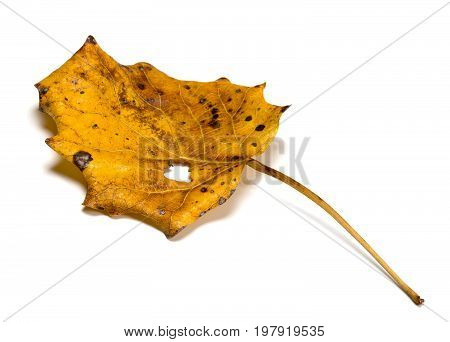 Autumn Dry Quaking Aspen Leaf With Hole