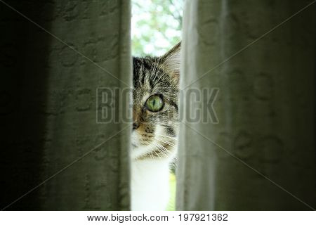 Tabby cat with green eyes peeking through the blinds