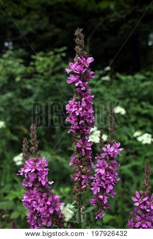 Purple Loosestrife flower (Red Sally) in the woods