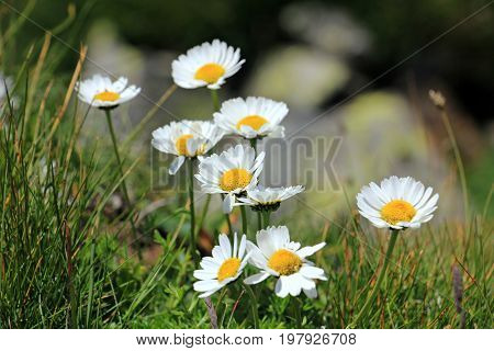 Beautiful white flowers in the mountains - Daisies, Bellis perennis