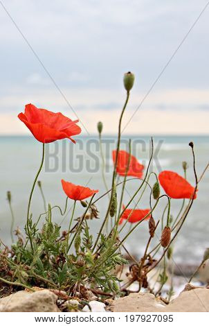 Blooming red poppies at the sea side
