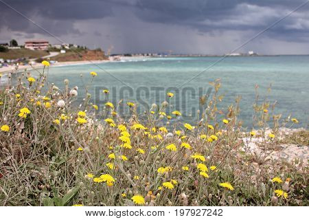 Yellow wild flower at the beach and stormy clouds over sea