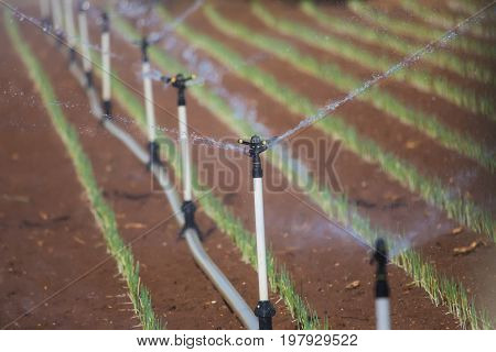 Greenhouse With Leek Field Watering System In Action