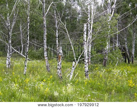 Trees in the summer forest. Very beautiful image.