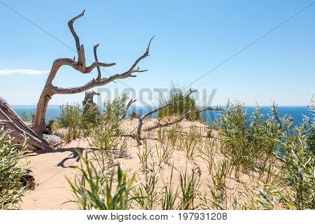 Ghost Tree of Sleeping Bear Dunes National Lakeshore. An ancient tree eroding from decades in the dunes can be seen with Lake Michigan in the background. Empire Michigan