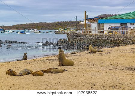 Group Of Sea Lions Resting At Shore Of Beach