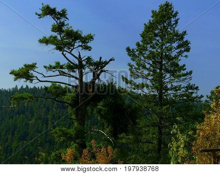 Twin pine trees with one damaged by lightening or wind.
