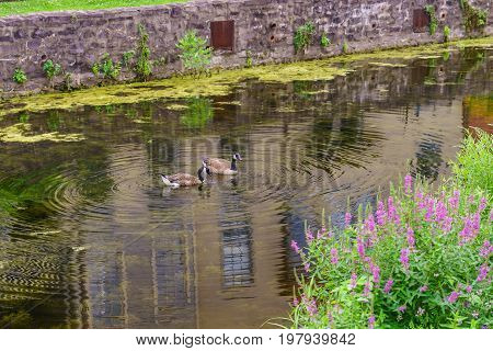 Delaware Canal Towpath and goose Historic New Hope PA USA