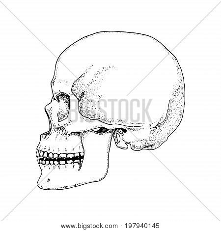 Human biology, anatomy illustration. engraved hand drawn in old sketch and vintage style. skull or skeleton silhouette. Bones of the body. front view or face