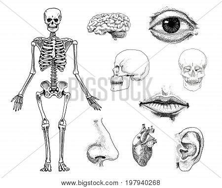 Human biology, anatomy illustration. engraved hand drawn in old sketch and vintage style. skull or skeleton silhouette. Bones of the body. lips and ear with nose. brain and heart