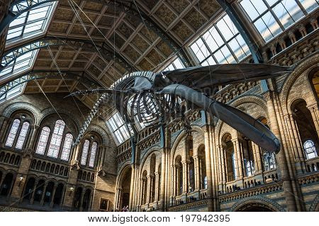 LONDON UK - JULY 30 2017: Natural history museum. Real size skeleton of the blue whale located in the main hall