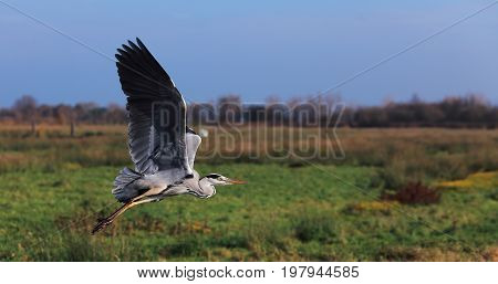 Image of a great grey heron (Ardea cinerea) flying in a green field in autumn.