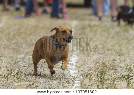 A cute little Dachshund competes in a wiener dog race in Rathdrum Idaho.