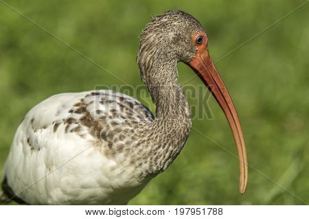 Closeup of young ibis and its long beak in Deland Florida.