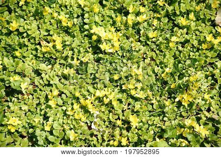 The top view of a wild meadow with the yellow flowers of the moneywort Lysimachia nummularia.
