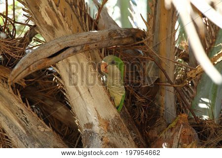 Monk parakeet ist looking for food on a plamtree