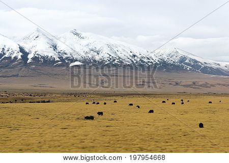 A herd of yaks in front of snowy mountains in clouds in Tibet background