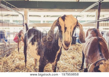Lop-earred goat standing in pen at the country fair in vintage garden setting