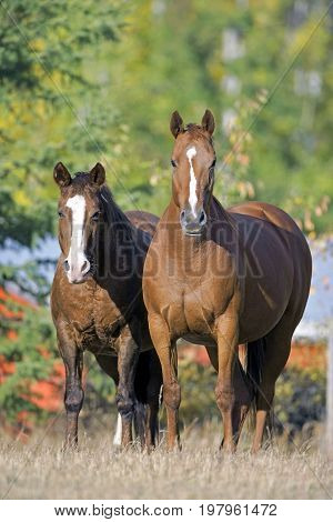 Thoroughbred and Quarterhorse Mare standing together at summer pasture watching.