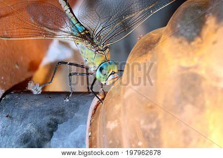 Large predatory wild dragonfly on the plafond of a light bulb