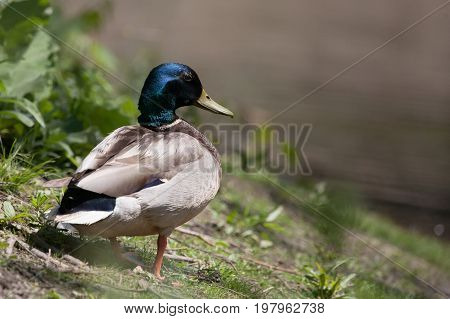Mallard Duck on the Pond Edge on a sunny afternoon