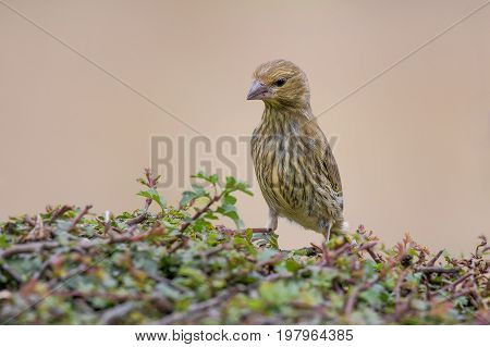 Juvenile greenfinch standing on a hedge stretched upwards looking down inquisitive