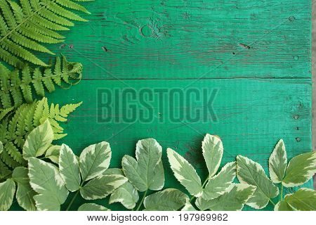 Frame from goutweed variegated and fern leaves on old painted turquoise wooden background with copy space. Border is left and bottom. Place for text. Top view.