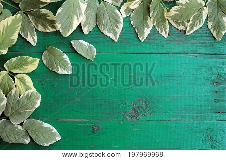 Frame from goutweed variegated leaves on old painted turquoise wooden background with copy space. Border is left and top. Place for text. Top view.