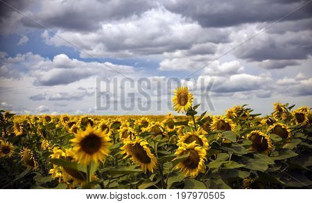 The yellow flower in the field of sunflowers turned to the sun along with other large yellow flowers under the blue sky in the clouds.