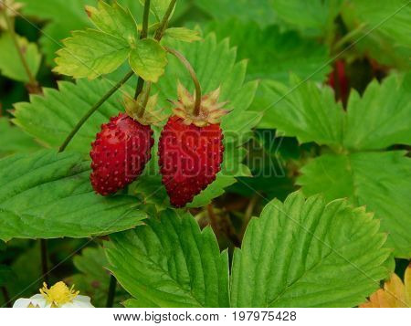 Two strawberries are riping on a branch in a garden. Outdoor shot