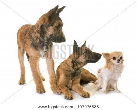 puppies belgian shepherd laekenois and chihuahua in front of white background
