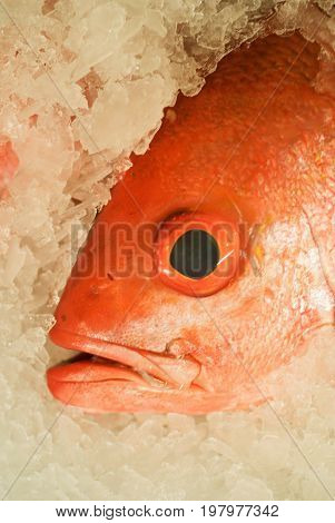 Red Snapper On Ice, Close Up Image, Color Image, Selective Focus