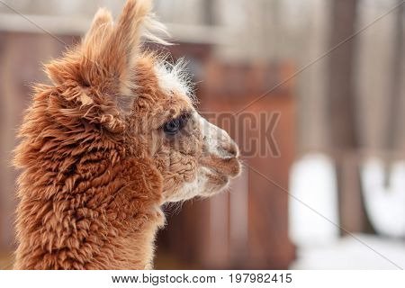 Cute Fluffy Red Alpaca Close-up