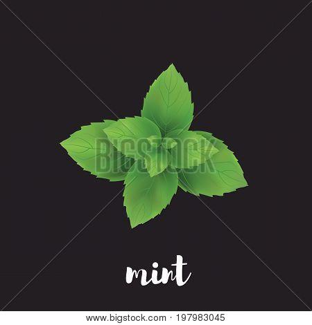 Mint herb vector illustration. Mint on a black background