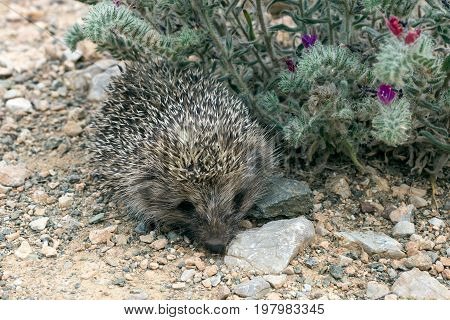 Young hedgehog in natural habitat. Greece. On a background of flowers.
