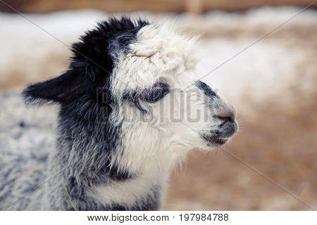 Cute Fluffy Grey White Alpaca Close-up
