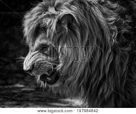 Portrait of a fierce male African lion growling and showing its teeth (in black and white retro style)