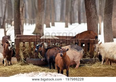 Livestock At Winter Farm. Farm Animals Eating Hay From The Mange