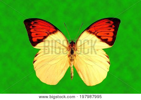Great Orange Tip Butterfly Latin name Hebomoia glaucippe