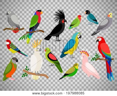 Tropical parrot set with colored feathers and wings. Vector cartoon parrots isolated on transparent background